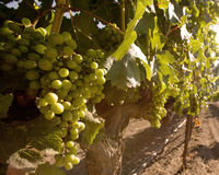 Beautiful wine grapes ripe for harvest Royalty Free Stock Photo