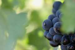 Beautiful Wine Grapes on Vine Stock Photos