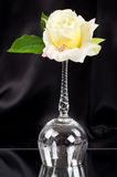 Beautiful wineglass with white rose Stock Photos