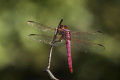 Beautiful Wings (Roseate Skimmer) Royalty Free Stock Photography