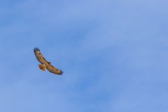 Beautiful wingspan view of Red tailed hawk. Soaring in the sky Stock Photo