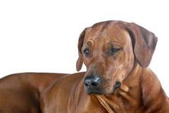Beautiful winking young dog rhodesian ridgeback isolated on whit Stock Images