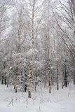 Birch forest after snowfall. Beautiful winter birch forest after snowfall, fluffy trees, branches, snowdrifts, lots of snow Royalty Free Stock Image