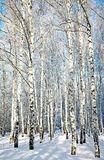 Beautiful winter birches Stock Photography
