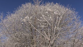 Beautiful winter Christmas  New year time hoarfrost rime on plants stock video
