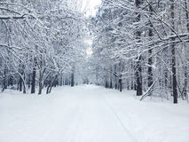 Beautiful winter covered snow forest in snowy day Royalty Free Stock Image