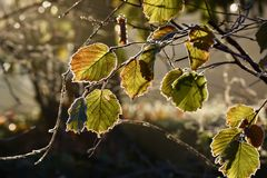 Frozen leaves. Beautiful winter day Stock Image