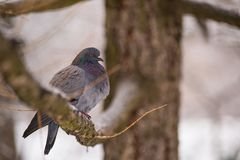 Beautiful winter dove at the branch stock photo