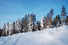 Beautiful winter forest. And clear blue sky stock photography