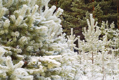 Beautiful winter forest. Fur-trees under snow Stock Photography