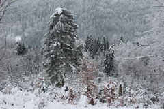 BEAUTIFUL WINTER FOREST. Winter Forest trees covered by the fluffy snow Stock Image