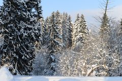 Beautiful winter forest on the background of blue sky. Beautiful firs and pines in the snow in the cold winter against the blue sky Stock Image