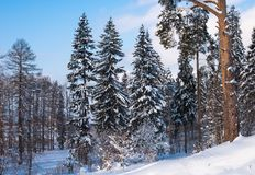 Beautiful winter forest on the background of blue sky. Beautiful firs and pines in the snow in the cold winter against the blue sky Stock Photo