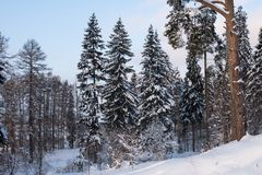 Beautiful winter forest on the background of blue sky. Beautiful firs and pines in the snow in the cold winter against the blue sky Stock Photography