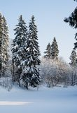 Beautiful winter forest on the background of blue sky. Beautiful firs and pines in the snow in the cold winter against the blue sky Stock Photos