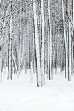 Beautiful winter forest with bare tree trunks covered by snow Stock Photos