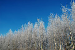 Beautiful winter forest Royalty Free Stock Image