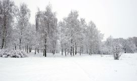 Winter park with birches covered with clean white snow with birch trees with snowy branches in cloudy day. Beautiful winter forest with birches covered with Royalty Free Stock Images