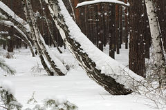 Beautiful winter forest Royalty Free Stock Photography
