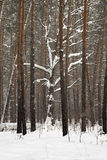 Beautiful winter forest Royalty Free Stock Photo