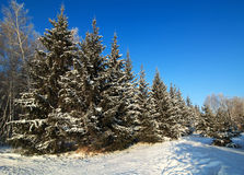 Beautiful winter forest. Stock Photography
