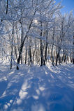 Beautiful winter forest landscape Stock Photography