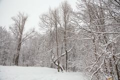 Beautiful winter forest landscape, trees covered snow Stock Image