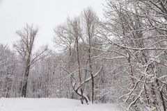 Beautiful winter forest landscape, trees covered snow Royalty Free Stock Image