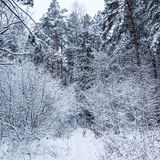 Beautiful winter forest with a lot of thin twigs covered in snow. Running Dalmatian on a snowy path stock image