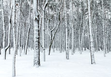 Beautiful winter forest scene with bare trees covered with snow Stock Photography