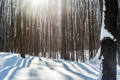 Beautiful winter forest Stock Image