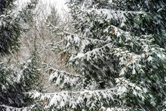 Beautiful winter forest while snow flurry Royalty Free Stock Image