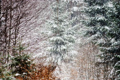 Beautiful winter forest while snow flurry Royalty Free Stock Photography