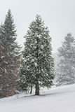 Beautiful winter forest while snow flurry Stock Photo