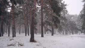 Beautiful winter forest Snow White falls wind shakes the trees Christmas snowy forest. stock video footage