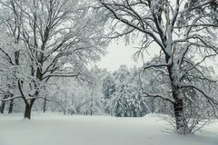 Beautiful winter forest after snowfall in overcast cold. Weather royalty free stock photo