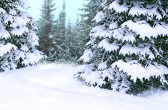 Spruces covered with snow. Beautiful winter forest. Happy Christmas eve royalty free stock images