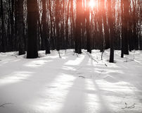 Beautiful winter forest in sunrise Stock Image