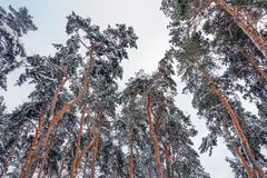 Beautiful winter forest. Trunks of trees covered with snow. Winter landscape. White snows covers ground and trees. Majestic. Trunks of trees covered with snow royalty free stock photography