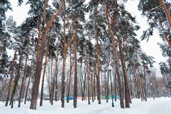 Beautiful winter forest. Trunks of trees covered with snow. Winter landscape. White snows covers ground and trees. Majestic. Trunks of trees covered with snow stock photo
