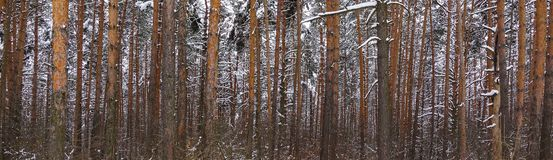 Beautiful winter forest. Trunks of trees covered with snow. Winter landscape. White snows covers ground and trees. Majestic. Atmosphere. Snow nature stock images