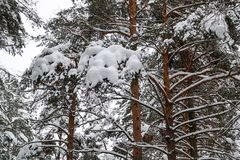 Beautiful winter forest. Trunks of trees covered with snow. Winter landscape. White snows covers ground and trees. Majestic. Atmosphere. Snow nature stock photos