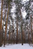 Beautiful winter forest. Trunks of trees covered with snow. Winter landscape. White snows covers ground and trees. Majestic. Atmosphere. Snow nature stock photography