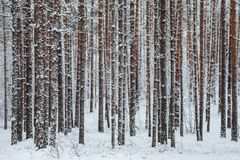 Beautiful winter forest. Trunks of trees covered with snow. Winter landscape. White snows covers ground and trees. Majestic atmosp. Here. Snow nature. Outdoor royalty free stock images