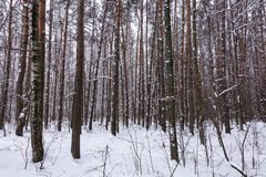 Beautiful winter forest. Trunks of trees covered with snow. Winter landscape. White snows covers ground and trees. Majestic. Atmosphere. Snow nature stock photo