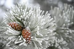 Free Beautiful Winter Frost. Branches Of Pine And Cones In Nature Royalty Free Stock Images - 135456049