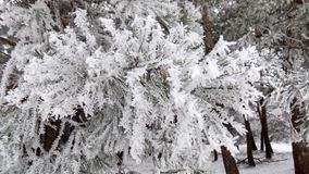 White branch. Beautiful winter landscape. Abstract pine forest background. Pines branches wallpaper. Beautiful winter landscape. Abstract pine forest background Stock Images