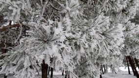Magical white branch. Beautiful winter landscape. Abstract pine forest background. Pines branches wallpaper. Magical white branch. Beautiful winter landscape Royalty Free Stock Photography