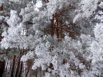Magical tree. Beautiful winter landscape. Abstract pine forest background. Pines branches wallpaper. Magical tree. Beautiful winter landscape. Abstract pine Stock Photo