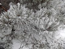 Snow on the branch. Beautiful winter landscape. Abstract pine forest background. Pines branches wallpaper. Beautiful winter landscape. Abstract pine forest Royalty Free Stock Photo